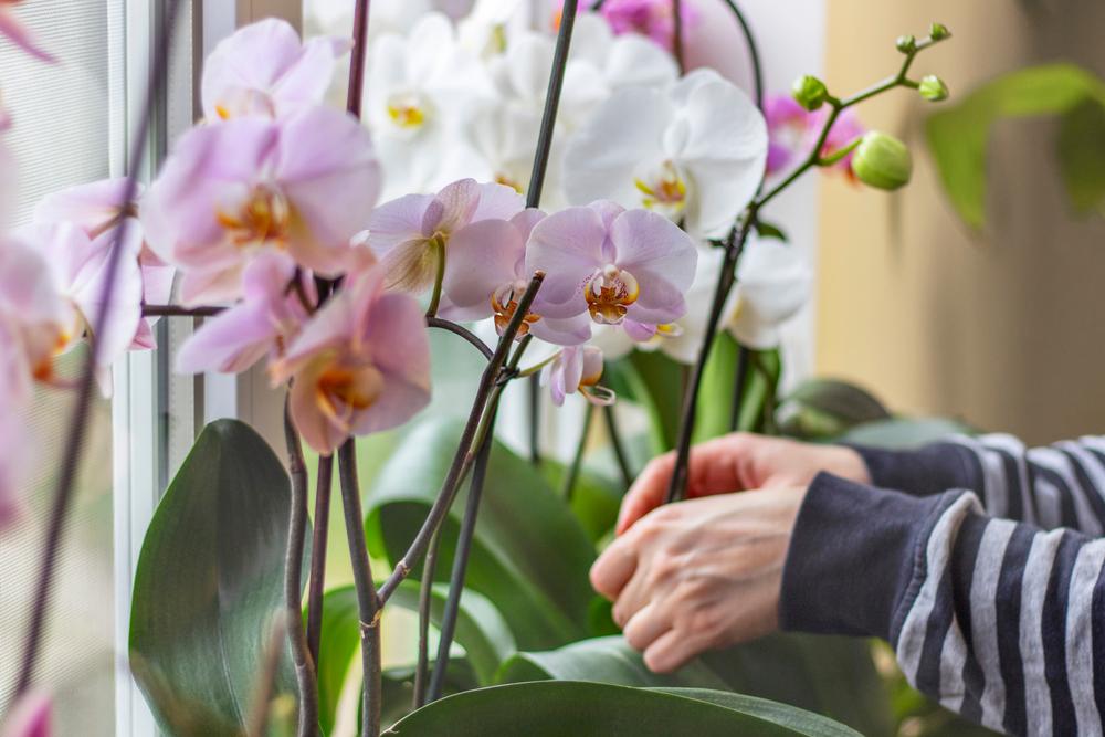 Bloeiende kamerplant - Sels Evrergreen