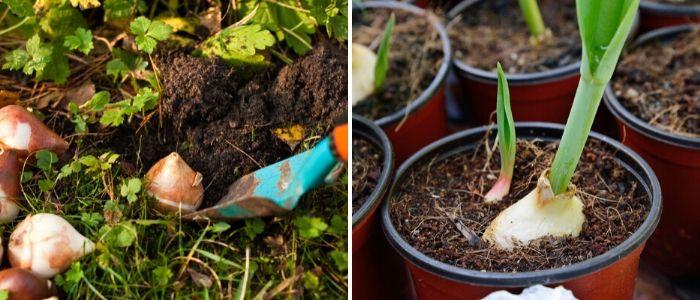 Bloembollen planten  -Sels Evergreen