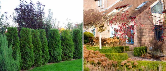 Bomen, heesters en coniferen - Sels Evergreen