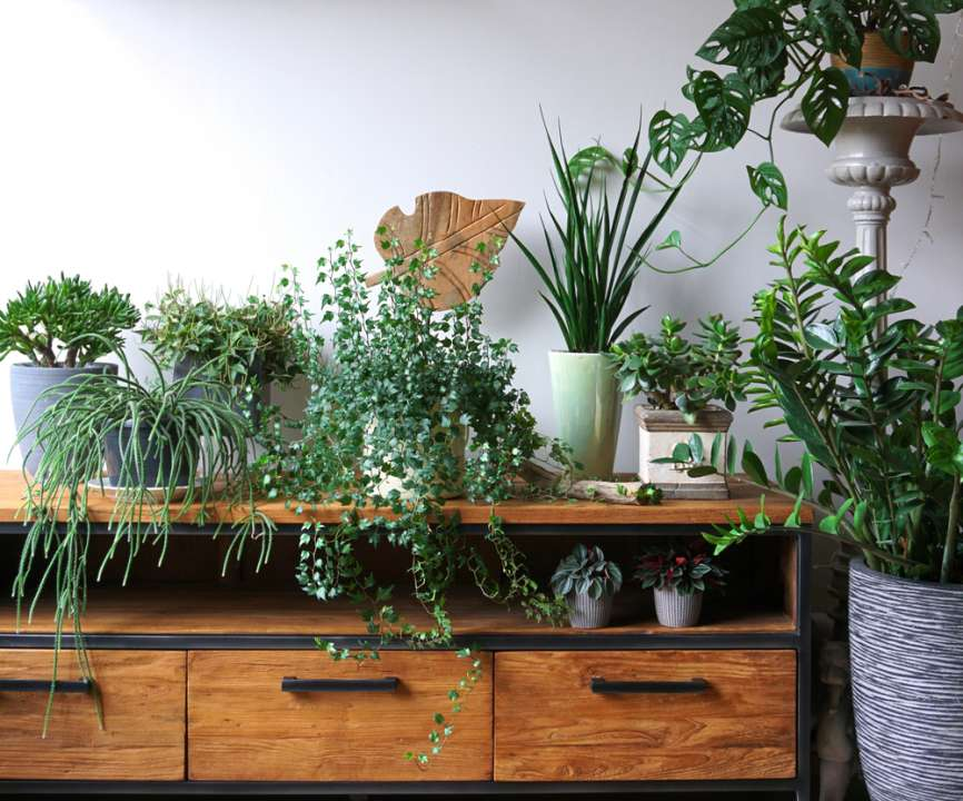 Groene kamerplanten - Sels Evergreen
