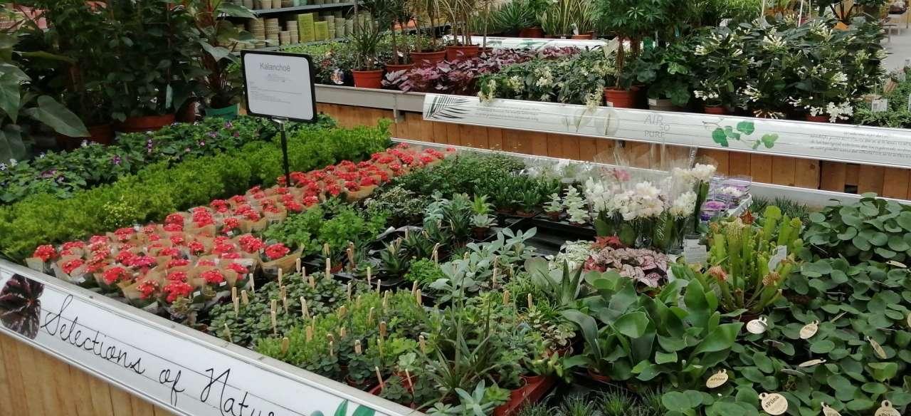 Kamerplanten - Sels Evergreen (2)