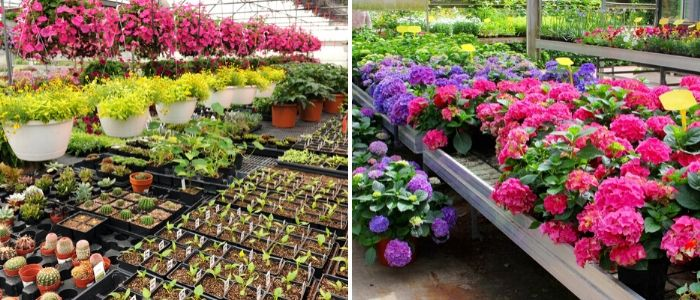 Planten in tuincentrum -  Sels Evergreen