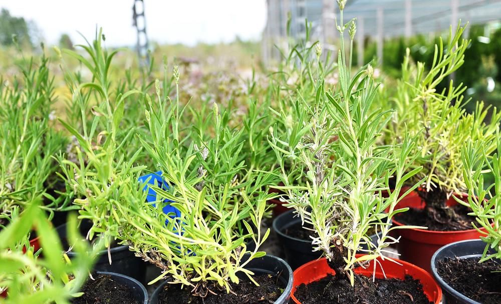 Tuinplanten - Sels Evergreen